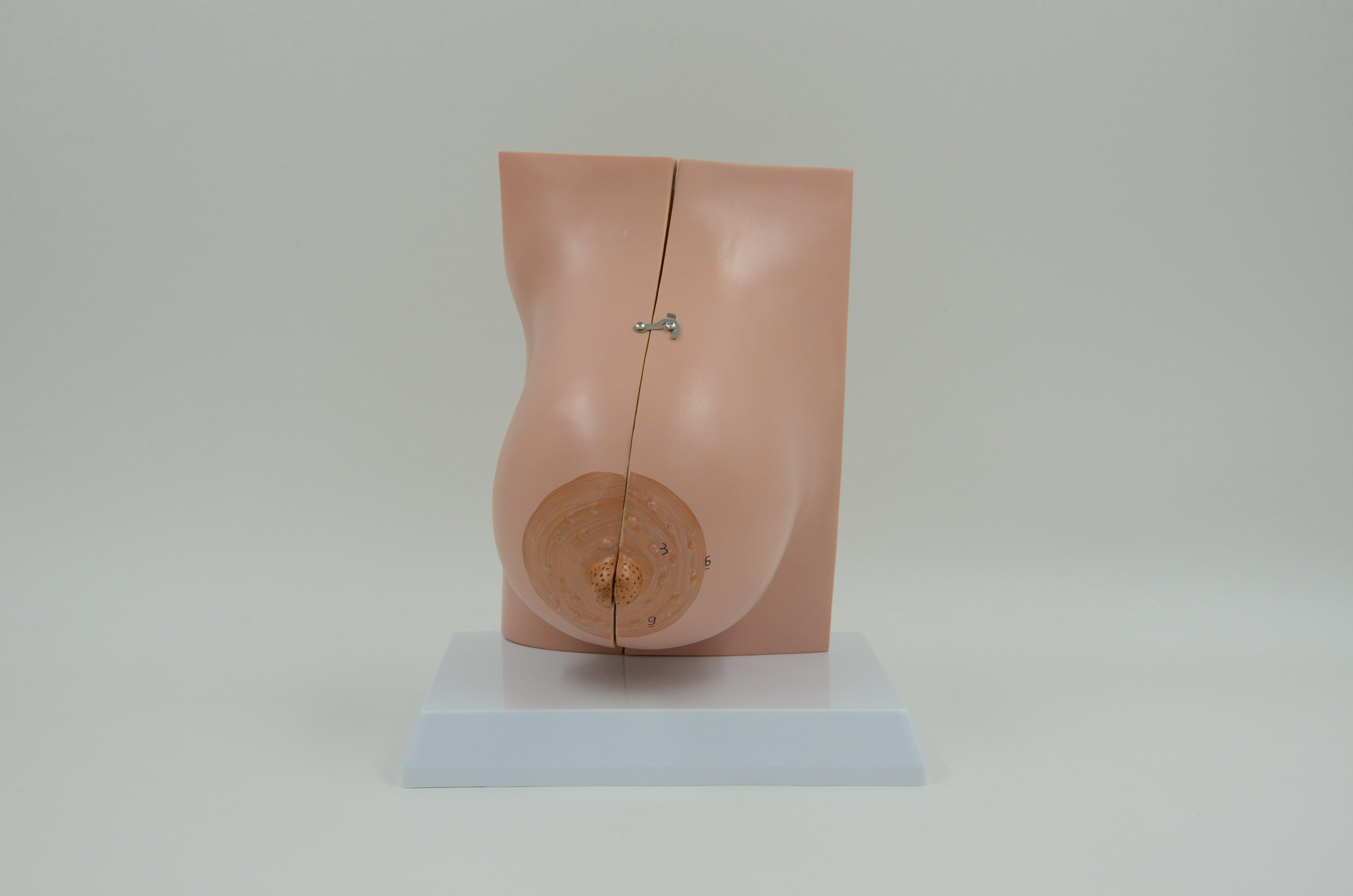 דגם אנטומי שד במהלך הנקה