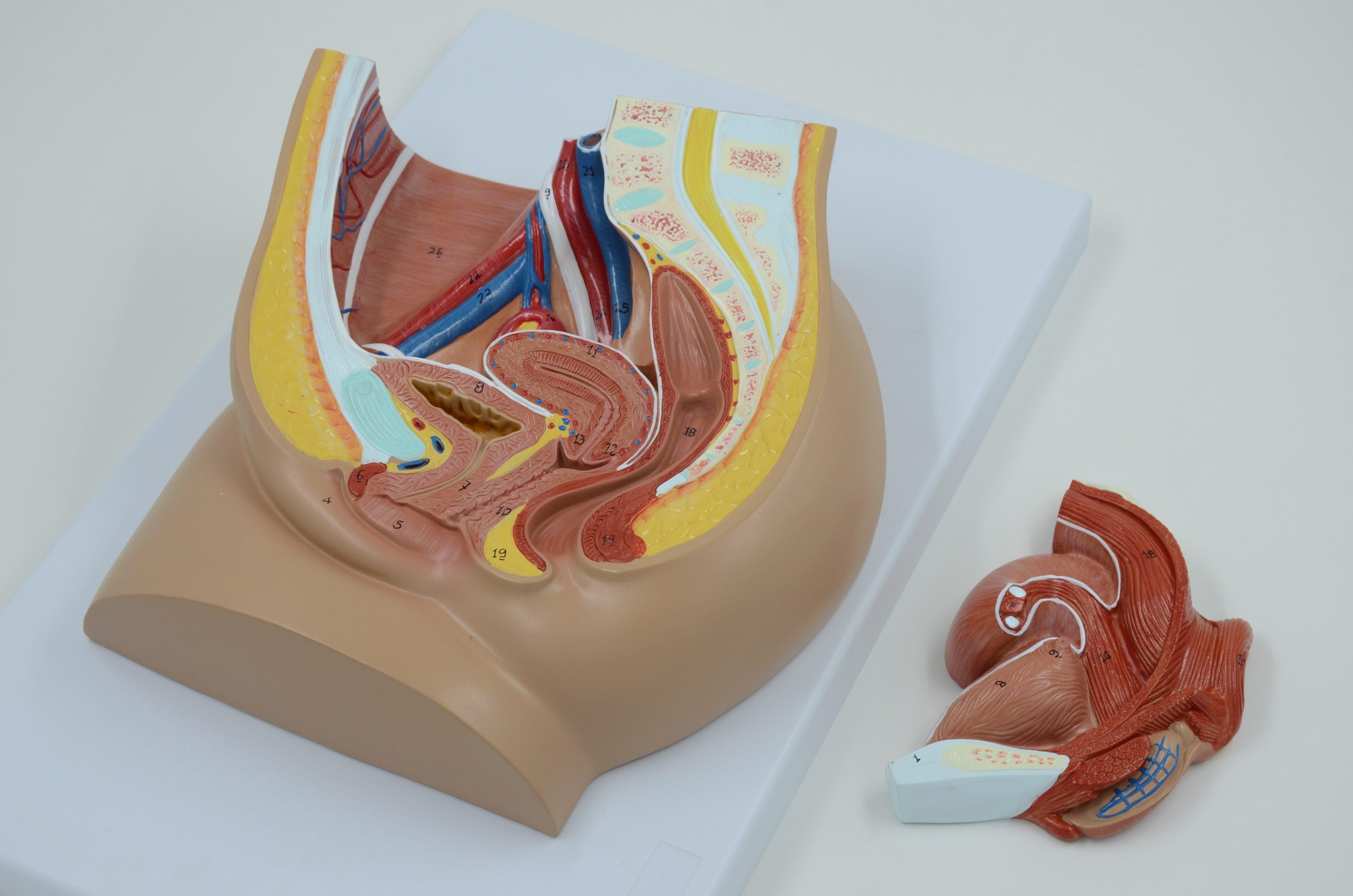 מודל אנטומי של אגן נשי - חתך מרכזי