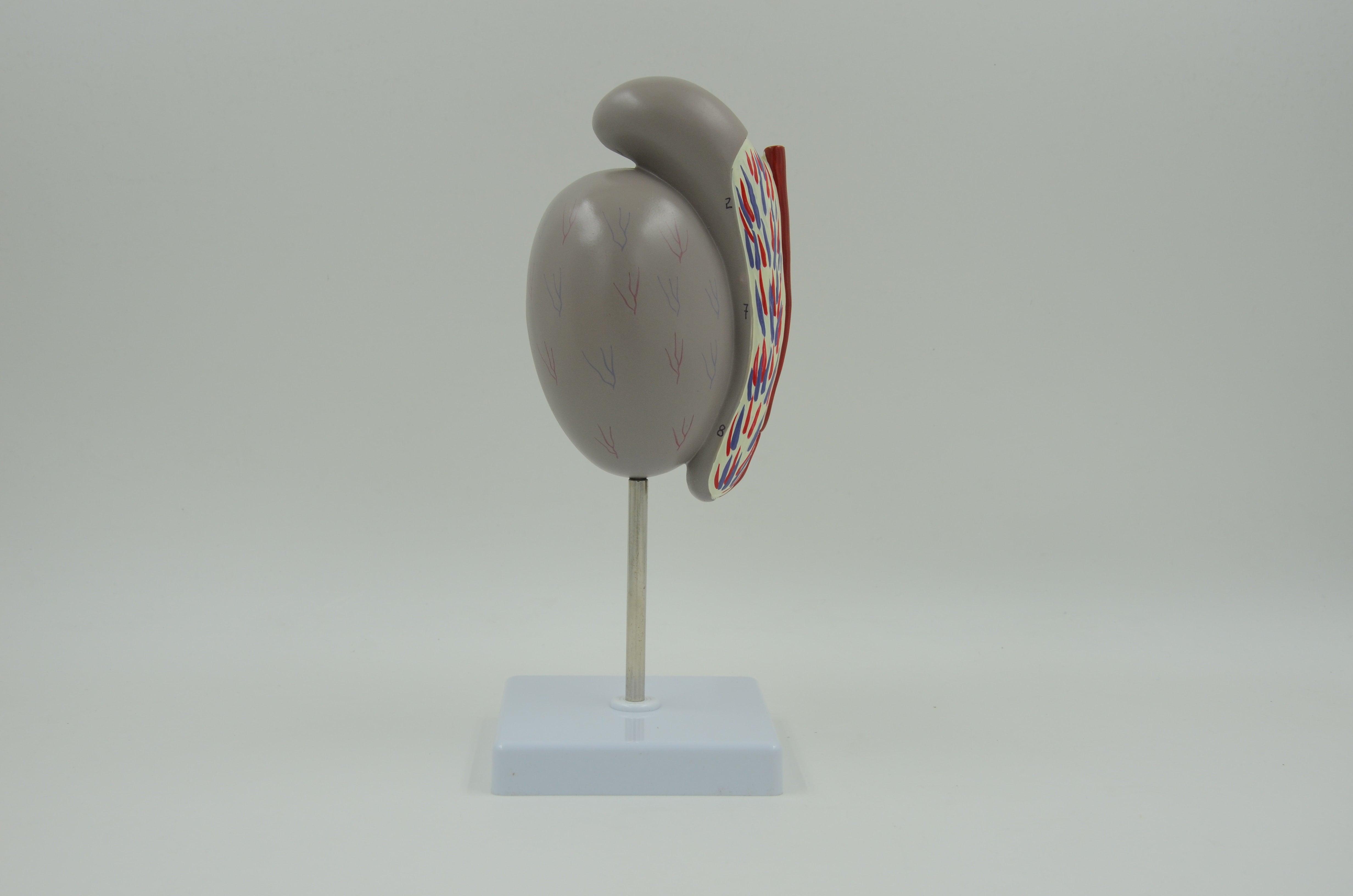 דגם אנטומי - אשכים