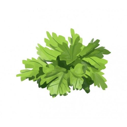 זרעי מורשת - פטרוזיליה איטלקית
