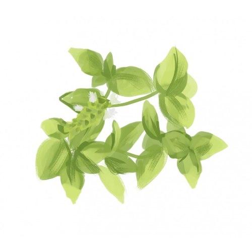 זרעי מורשת - בזיליקום מתוק