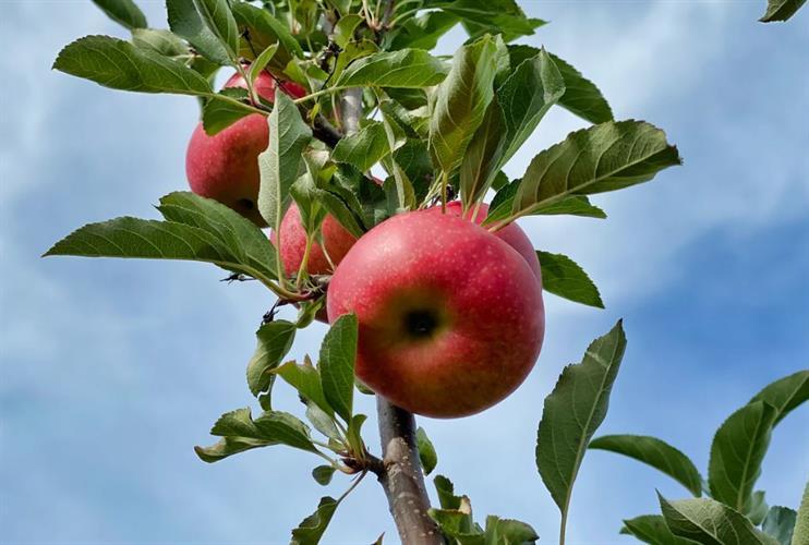 תפוח עץ פינק ליידי אורגני  (ייבוא) 1 קג