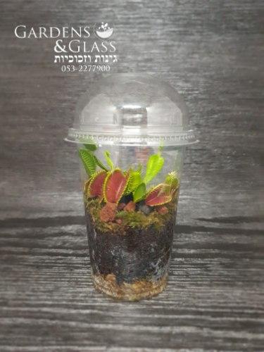 דיונאה צמח טורף כוס 3 חממה סטרילית