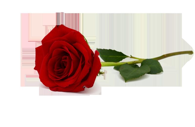 תוצאת תמונה עבור ורד
