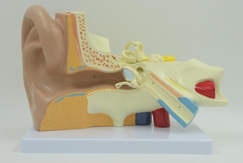 דגם אנטומי 670 - האוזן והמערכת הווסטיבולרית 3 חלקים