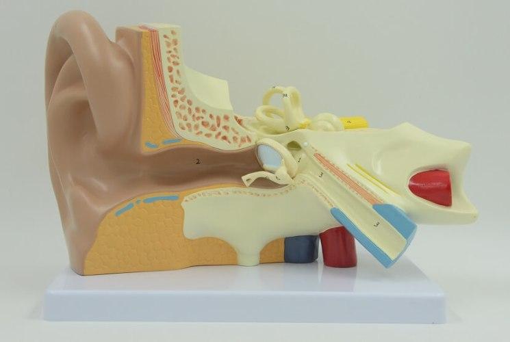 בהזמנה מראש: דגם אנטומי 670 - האוזן והמערכת הווסטיבולרית 3 חלקים