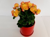 ביגוניה ורד בכלי קרמיקה מקט133