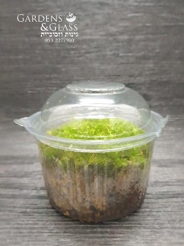 טחב מוס כדורי ball moss