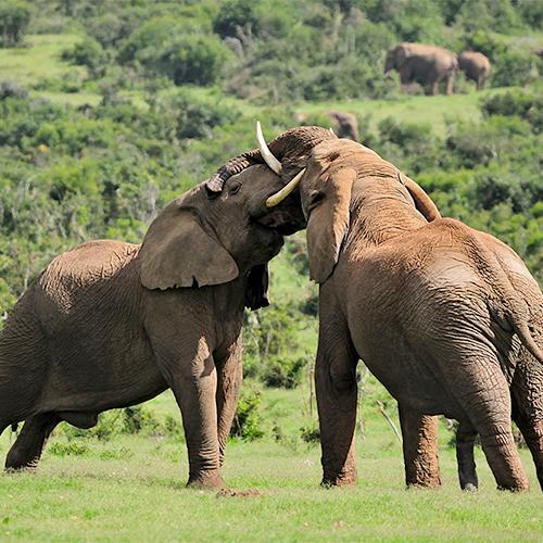 ענקי היבשה - הפילים   יום ו׳, 20.7, בשעה 10:00   מרצה: ד״ר דני אפיק