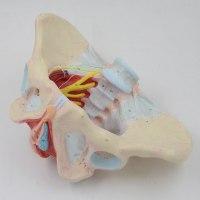 רצפת האגן הנשית מודל 590 - דגם מפורט ללא איברים פנימיים