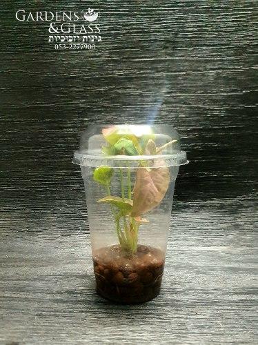 סינגוניום מים וורוד כוס 4