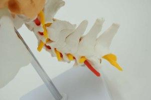 בהזמנה מראש: דגם אנטומי 154P - גולגולת צבעונית וחוליות צוואר עם עצבים