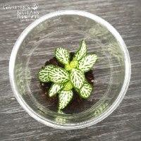 פיטוניה גידי הכסף ירוק כוס 1