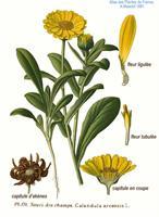 שמן צמחי קלנדולה