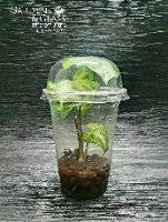 סינגוניום מים ירוק כוס 3