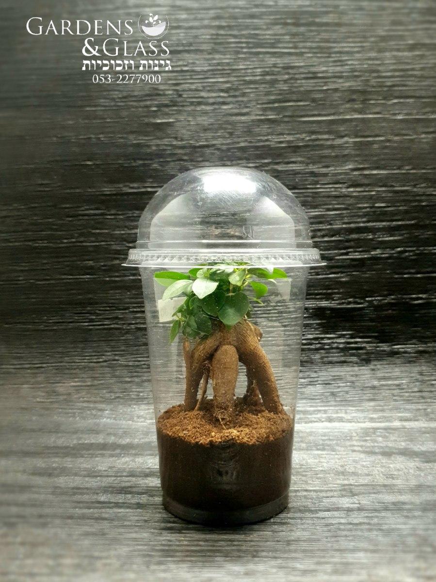 בונסאי פיקוס ג'ינג'קס כוס 4