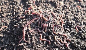 רקבובית הומוס תולעים 100% דשן אורגני 5 ליטר – לאדמה פוריה