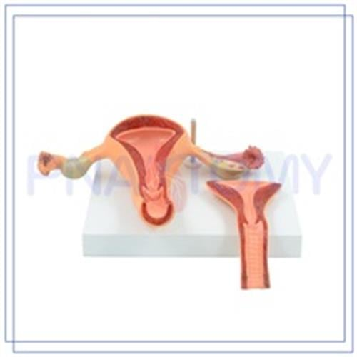 דגם אנטומי בסיסי של מערכת הרביה הנשית