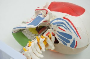 בהזמנה מראש: דגם אנטומי 155 - גולגולת חצי צבעונית וחוליות צוואר עם עצבים