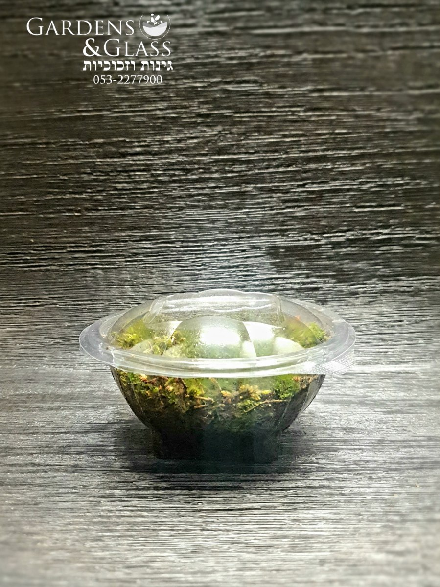 מוס כדורי קופסה 1