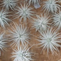 Tectorum Snow