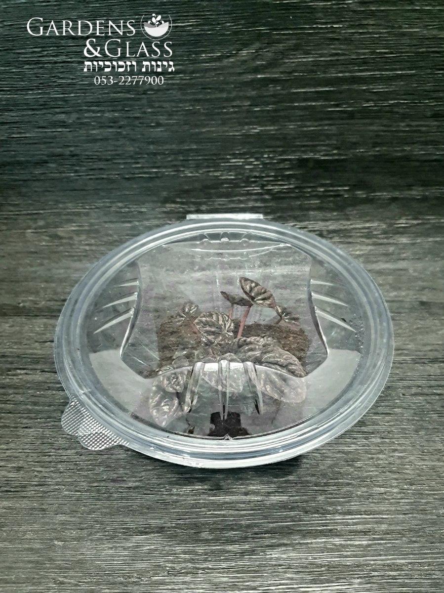 פפרומיה שומי קופסה 2