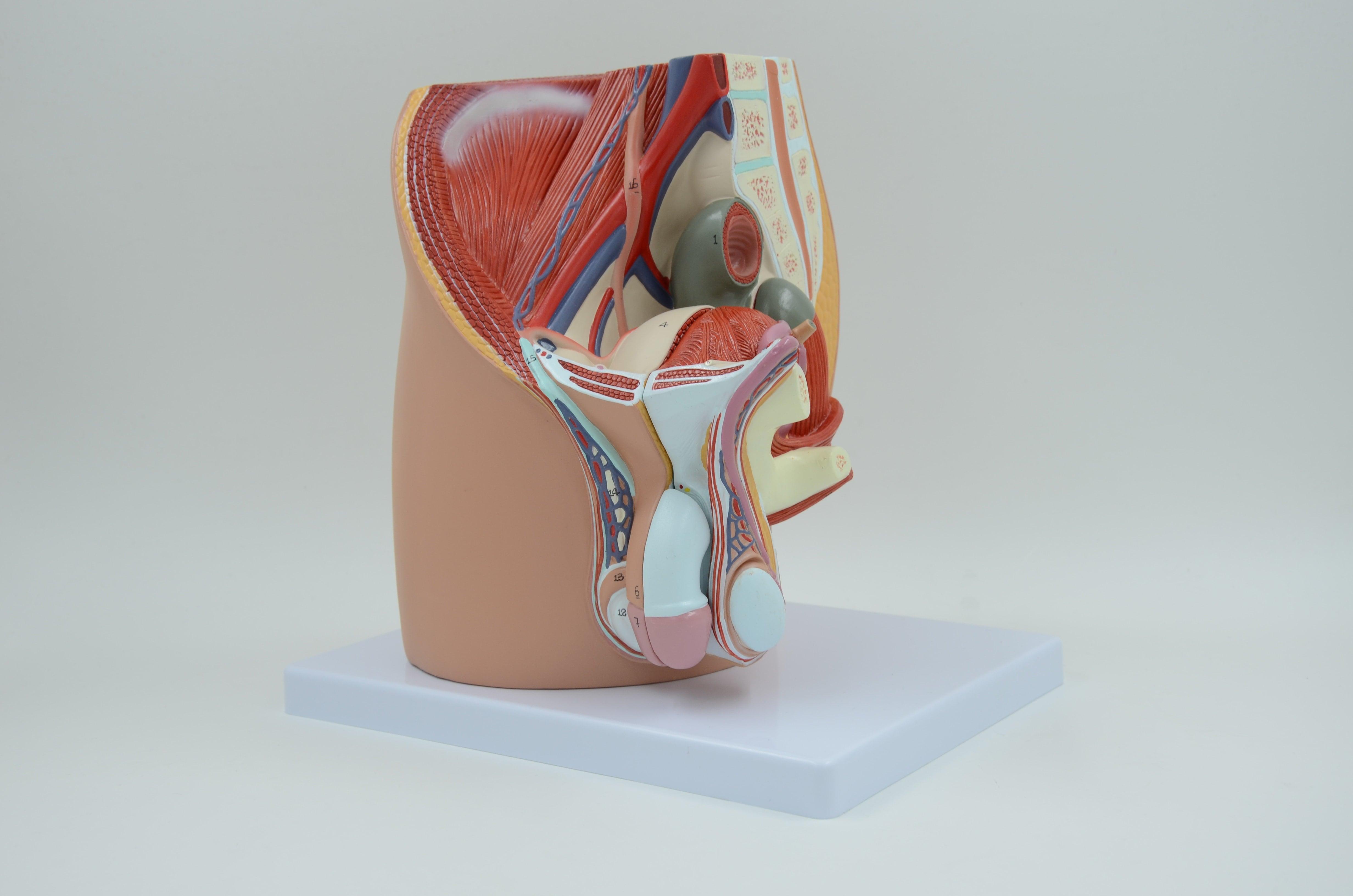 אגן גברי - דגם אנטומי תלת מימדי