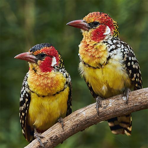 אילו ציפורים... על עופות טנזניה |יום ו׳, 15.11.19, בשעה 10:00 | מרצה: צילה שריב