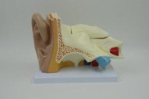 בהזמנה מראש: דגם אנטומי 671 - האוזן והמערכת הווסטיבולרית 5 חלקים