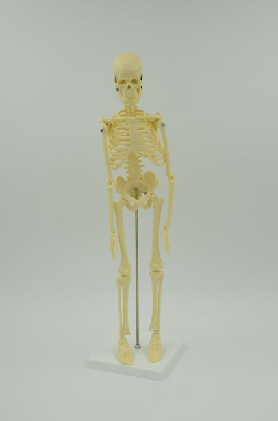 """דגם אנטומי 107 - שלד אנושי 45 ס""""מ"""