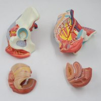 רצפת האגן הנשית מודל 591 - דגם מפורט עם איברים פנימיים