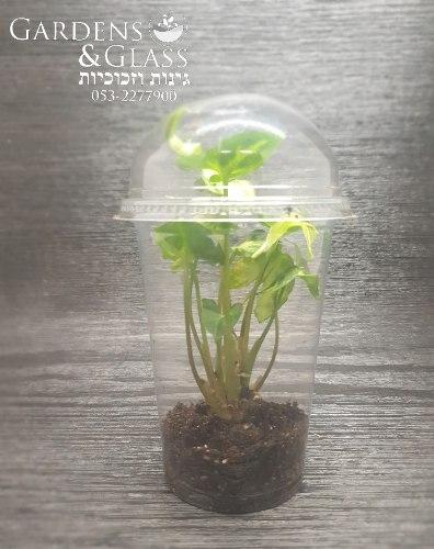 סינגוניום ירוק