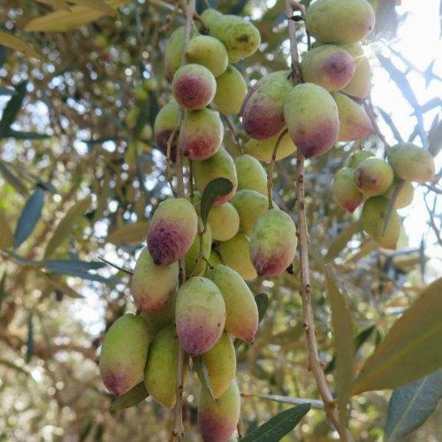 מסיק הזיתים שלנו